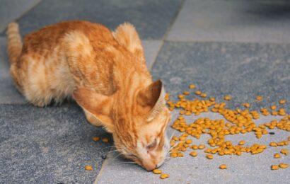 Kaip išrinkti geriausią sausą maistą katėms?